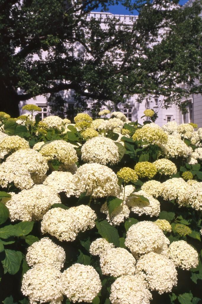 Hortensien: Vor der Burg Hohenzollern präsentiert sich jedes Jahr eine Pflanzenpracht.